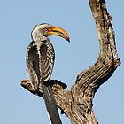 Yellow Billed Hornbill by Debbie Schiff
