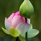 Lotus and Water Lily by Margaret Barry