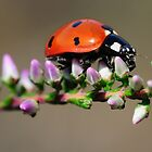 A closer look at a ladybird by Paulo van Breugel
