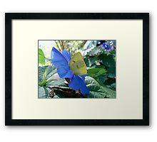Sulphur Butterfly in Morning Glory Framed Print