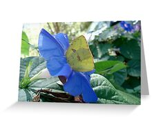 Sulphur Butterfly in Morning Glory Greeting Card