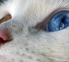 Daisy the Heterochromia eyed cat by Douglas M. Paine
