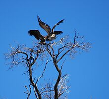 Vultures Landing by laureenr