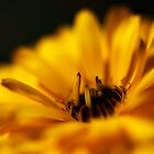 yellow calendula by codaimages