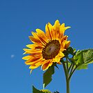 Sunflower by Jeff Ashworth & Pat DeLeenheer