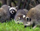 Mad raccoon by Larry  Grayam