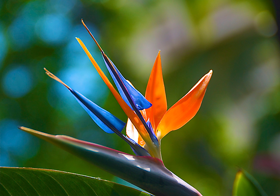 Bird of Paradise by Cheryl  Lunde