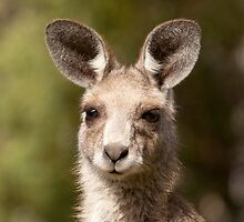 Eastern Grey Kangaroo by Blue Gum Pictures
