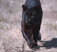 Black Panther by laureenr