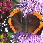 Red Admiral butterfly (Vanessa atalanta)II by loiteke