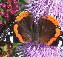 Red Admiral butterfly (Vanessa atalanta)II by loiteke