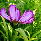 Pretty Cosmos by kittyrodehorst