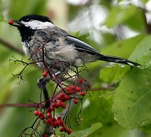 Black-Capped Chickadee With Elderberry by Wolf Read