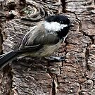 Black-Capped Chickadee Clinging to Bark (Frame 1) by Wolf Read