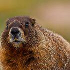 Marmot Portrait by Jay Ryser