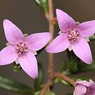 Two Boronia Flowers by Andrew Trevor-Jones
