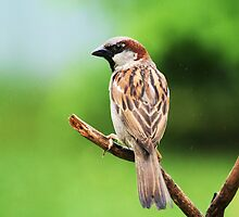 Common House Sparrow - Breeding Male by Lynda   McDonald