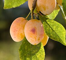 Group of yellow ripe plums on branch. by vkph