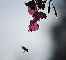 Early morning bee by Rowan  Lewgalon