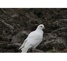 Homing Pigeon Photographic Print
