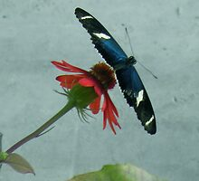 Butterfly on a dasiy  by HanieBCreations