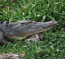 Fresh Water Crocodile by Liam  Outram