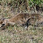 Thompson Gazelle Fawn by Angela1