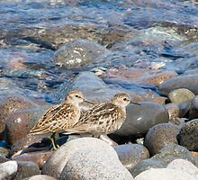Least Sandpiper by Sean McConnery