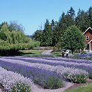 Farmhouse at Purple Haze Lavender Farm by Marjorie Wallace