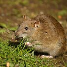 Brown Rat by Jon Lees