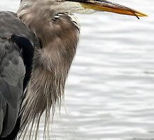 Great Blue Heron Portrait With Tongue by Wolf Read