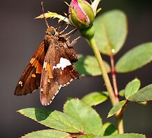 'Silver Spotted Skipper and Rosebud' by Scott Bricker