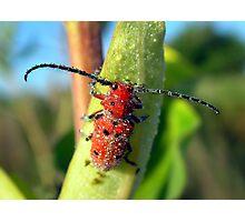 Longhorned Milky Dew Bug Photographic Print