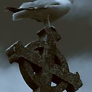 The Church Cove Gull. by James Ingham