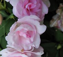 Triple Begonia Bliss by MarianBendeth