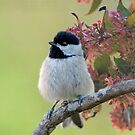 Fluffy Little Carolina Chickadee  by Bonnie T.  Barry
