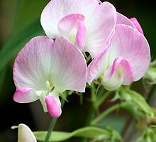 Pink-Tinted Pea Flowers by Wolf Read