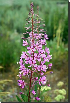 Fireweed by Teresa Zieba