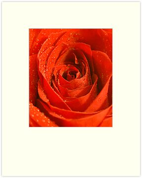 Single Red Rose by Barbara Manis