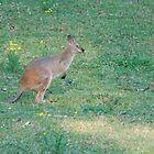 Upper Lansdowne Wallaby by Graham Mewburn