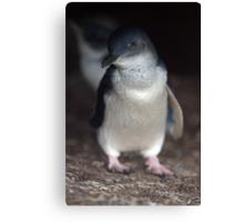 Australian Baby Penguin, Philip Island, Australia Canvas Print