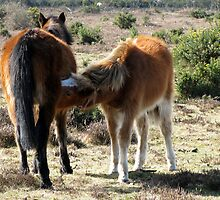 Mare and foal in the New Forest by Caroline Anderson