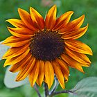 sunflower by marianne troia