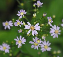 Fringed Purple Aster- Aster Ciliolatus  by Tracy Faught