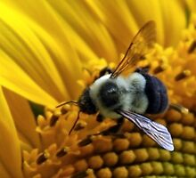 *BUMBLEBEE ON A SUNFLOWER* by Van Coleman