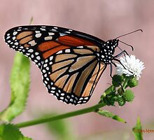 Monarch Butterfly by Pam Moore