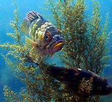 Copper Rock Fish by Greg Amptman