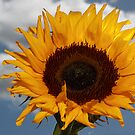 Sunflower and Blue Sky by Brian Carey