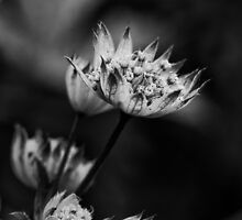 Astrantia by Mabs