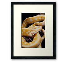 Albino Northern Territory Carpet Python (Morelia spilota variegata) Framed Print